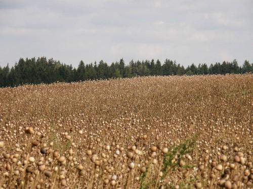 Makové pole na Vysočine