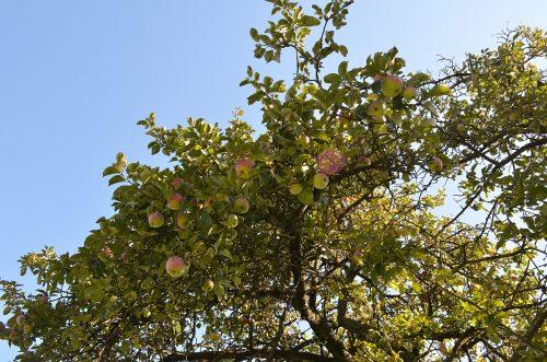 jablká na strome